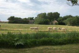 Texel-schapen-vuurtoren